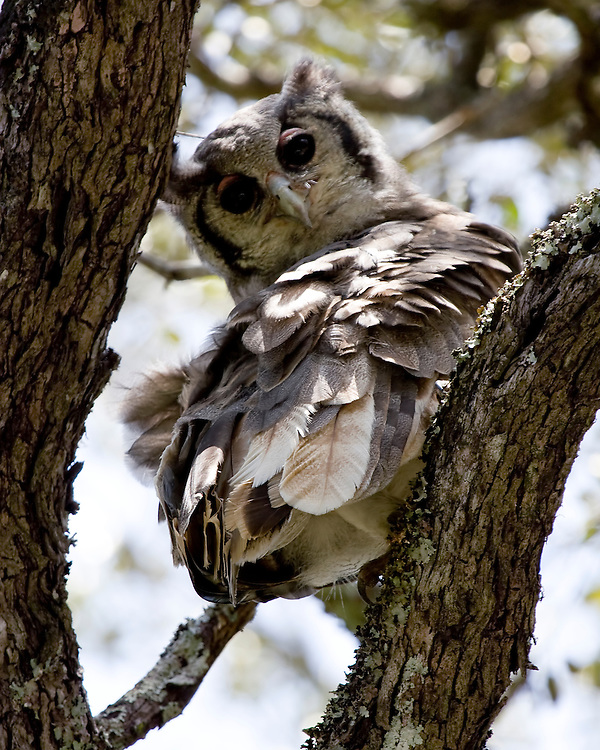 (Bubo lacteus) Verreaux's Eagle-Owl is the largest African owl and can weigh up to 7lbs and have a 2m wingspan.