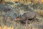 Trophy Mule deer buck in habitat Mule deer buck in sagebrush habitat