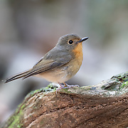 The (feamle) hill blue flycatcher (Cyornis whitei) is a species of bird in the family Muscicapidae. It is found in southern China and Southeast Asia.
