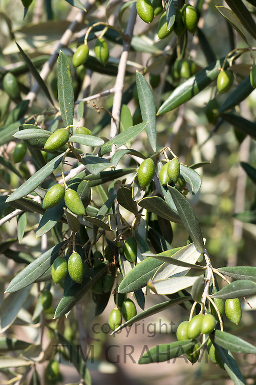 Coratina olives growing for extra virgin olive oil production at Azienda Agricola Mandranova at Palma di Montechiaro in Sicily