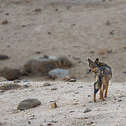 Tibetan Wolf Photographed In Ladakh Himalayas.