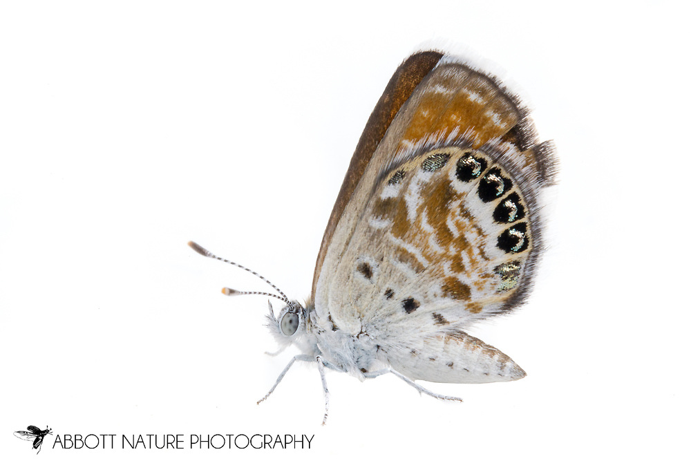 Western Pygmy-Blue (Brephidium exile)<br /> CALIFORNIA: Mono Co.<br /> June Lake  37.77810 -119.07734  2323 m<br /> 13-17.June.2012  <br /> J.C. Abbott #2601 &amp; K.K. Abbott