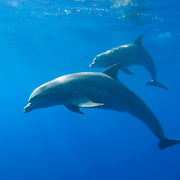 Underwater photo shows a pair of bottle-nose dolphins (Tursiops truncatus) swimming just below the ocean's surface in Gladden Spit and Silk Cayes Marine Reserve, off the coast of Placencia, Stann Creek, Belize