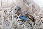 Spectacled Eider, Somateria fischeri, female on nest, Yukon Kuskokwim Delta NWR, Alaska