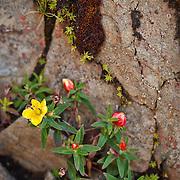 Yushan High Mountain WIldflower