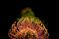 Leucospermum cordifolium flower, Heuningberg Mountain Nature Reserve, Western Cape, South Africa
