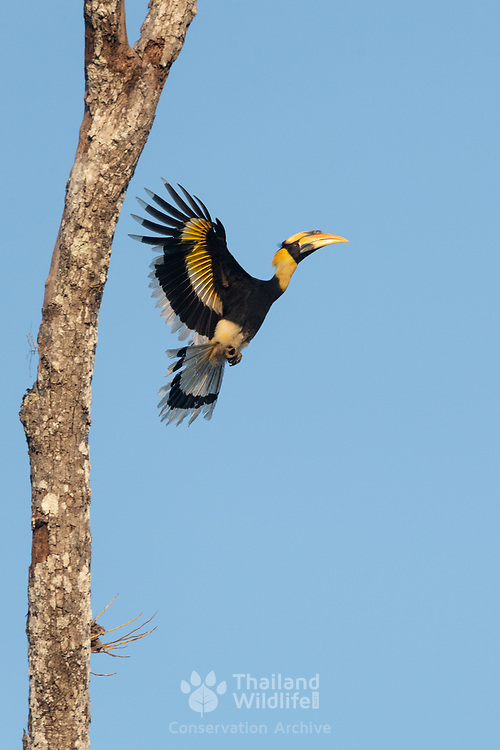The great hornbill (Buceros bicornis) also known as the great Indian hornbill or great pied hornbill, is one of the larger members of the hornbill family. It is found in the Indian subcontinent and Southeast Asia. Photographed the the Thung Yai Naresuan Wildlife Sanctuary in Thailand.