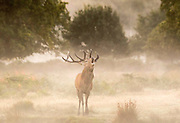 UNITED KINGDOM, London: 08 October 2015 A stag Red Deer calls out in the mist of Richmond Park during an autumnal sunrise this morning. Photo: Rick Findler / Story Picture Agency