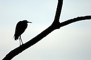 A Heron stands on a branch silhouetted against the sky at Crooked Tree Wildlife Sanctuary, Belize.