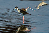 Black-necked Stilt (Himantopus maxicanus)