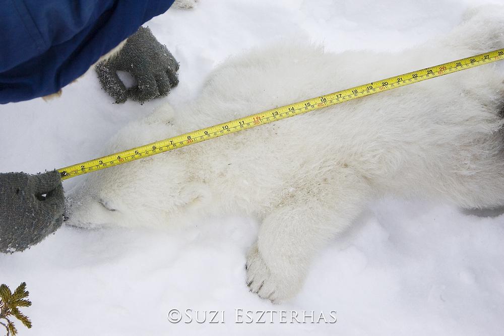 Polar Bear<br /> Ursus maritimus<br /> Polar bear biologists measure the body length of an anesthetized 3-4 month old cub <br /> Wapusk National Park, Canada