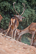 Alberto Carrera, Red Deer, Cervus elaphus, Rutting Season, Monfragüe National Park, SPA, ZEPA, Biosphere Reserve, Cáceres Province, Extremadura, Spain, Europe