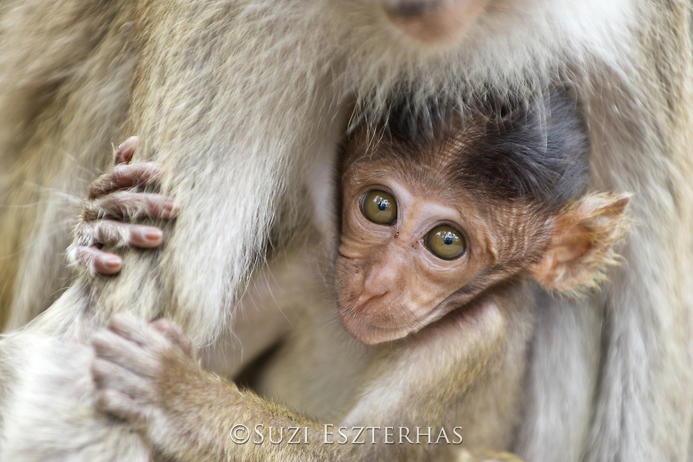 Long-tailed macaque<br /> Macaca fascicularis<br /> Infant<br /> Tanjung Puting National Park, Indonesia