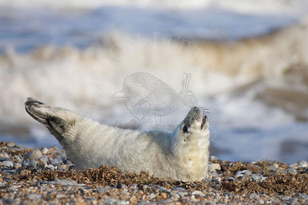 Grey Seal (Halichoerus grypus) young, on shingle beach, Norfolk, England