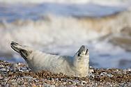 Grey Seal (Halichoerus grypus) young, on shingle beach, Norfolk, England