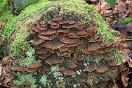 Oak Curtain Crust - Hymenochaete rubiginosa