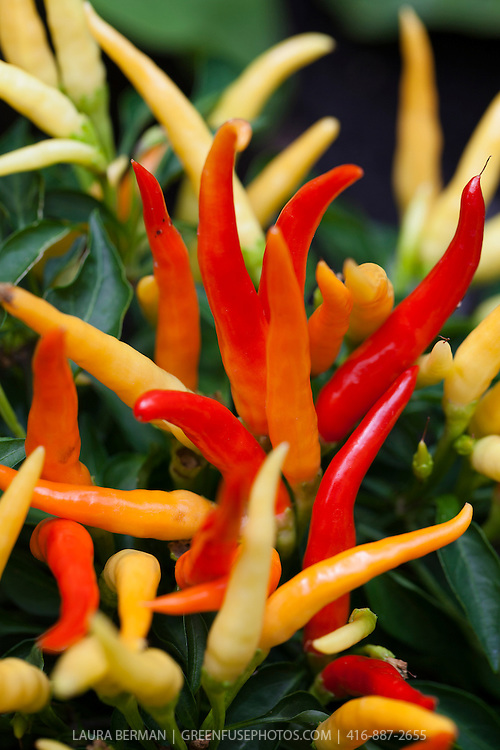 Yellow, orange and red Medusa ornamental hot peppers
