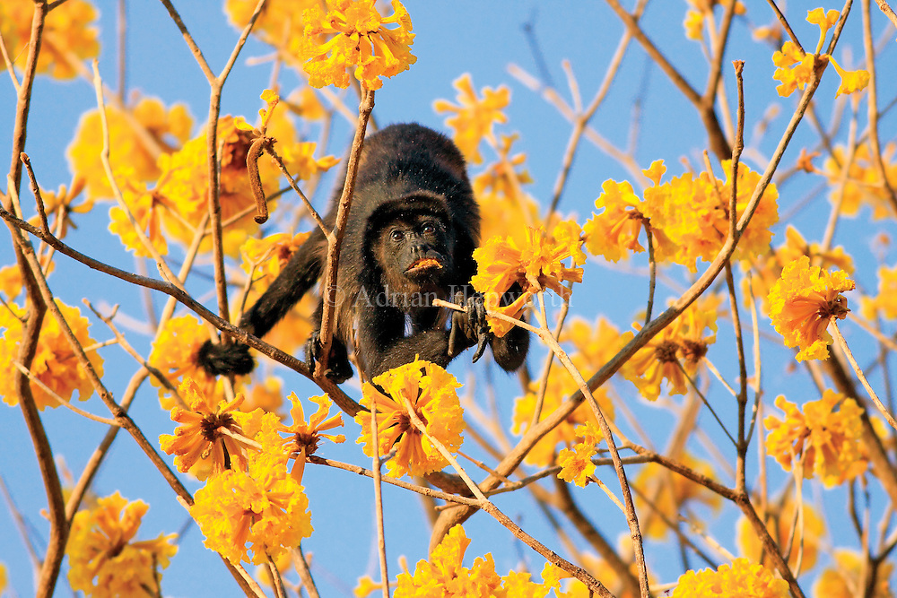 I spent an extremely relaxing hour or so photographing this male Mantled Howler Monkey as he casually munched on the flowers of a Yellow Cortez tree in tropical dry forest near Conchal Beach, Guanacaste. It was the final hour of the day and the sunlight was just perfect.<br /> <br /> For sizes and pricing click on ADD TO CART (above).