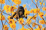 I spent an extremely relaxing hour or so photographing this male Mantled Howler Monkey as he casually munched on the flowers of a Yellow Cortez tree in tropical dry forest near Conchal Beach, Guanacaste. It was the final hour of the day and the sunlight was just perfect.<br />