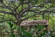 A tangled canopy of tree limbs reaches over a shed in Allerton Garden, on the south shore of Kauai, Hawaii, USA. Address: 4425 Lawai Rd, Koloa, HI 96756. Nestled in a valley transected by the Lawai Stream ending in Lawai Bay, Allerton Garden is one of five gardens of the non-profit National Tropical Botanical Garden (ntbg.org).