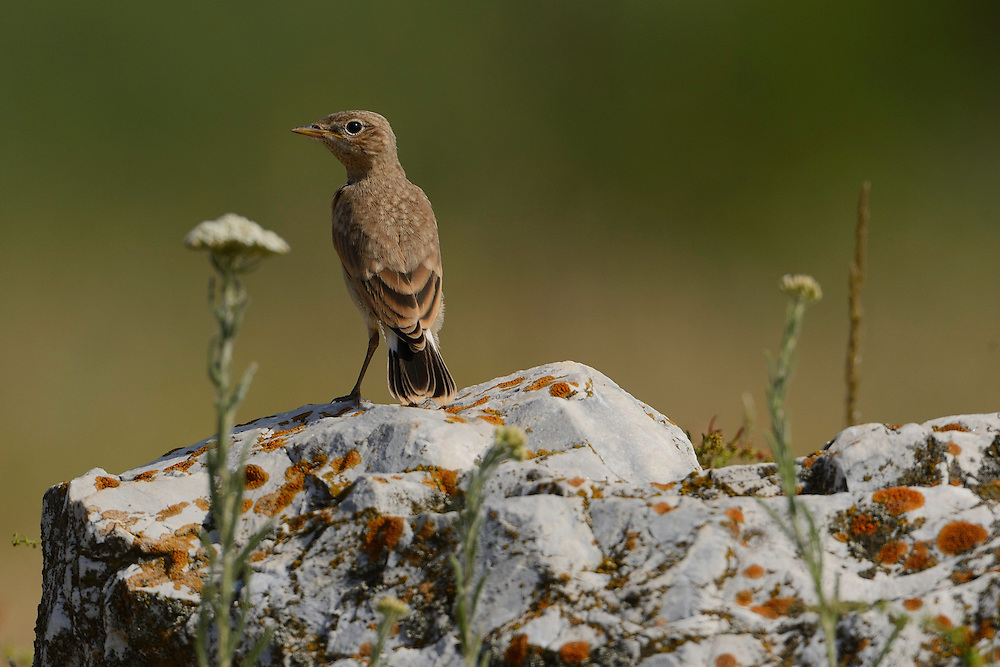 Isabelline wheatear, Oenanthe isabellinae, Sakar mountains, Eastern Rhodope mountains, Bulgaria