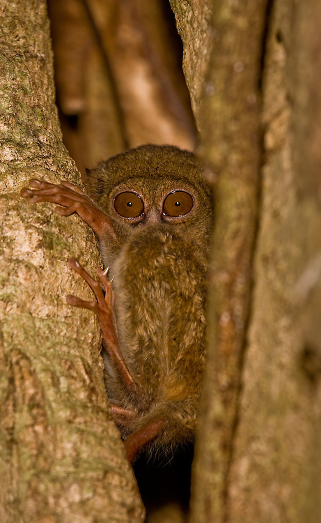spectral tarsier - Tarsius tarsier - in a tree hole in north Sulawesi