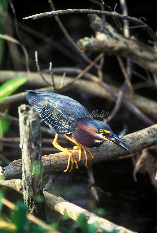 Green-backed Heron with fish catch, Everglades NP, Florida USA.Butorides virescens