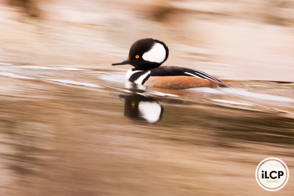 Hooded Merganser (Lophodytes cucullatus) male swimming, Scotts Valley, California