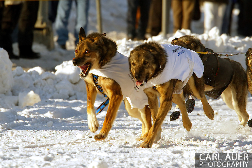 3/3/2007:  Anchorage Alaska -  The lead dogs of Veteran Jeff King of Denali, AK head down the streets of Anchorage during the Ceremonial Start of the 35th Iditarod Sled Dog Race