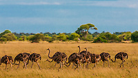 Herd of ostriches walking, Nxai Pan National Park, Botswana.