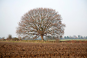 Round small oak tree with brown leaves in winter showing bare branches and trunk, Sutton, Suffolk, England