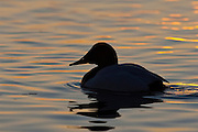 Canvasback, Aythya valisineria, Chesapeake Bay, Maryland