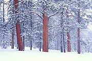 Winter mist and fresh snow on Ponderosa Pines, Bryce Canyon National Park, Utah