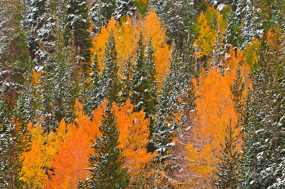 Fresh snow on fall aspens and pines along Bishop Creek, Inyo National Forest, Sierra Nevada Mountains, California USA