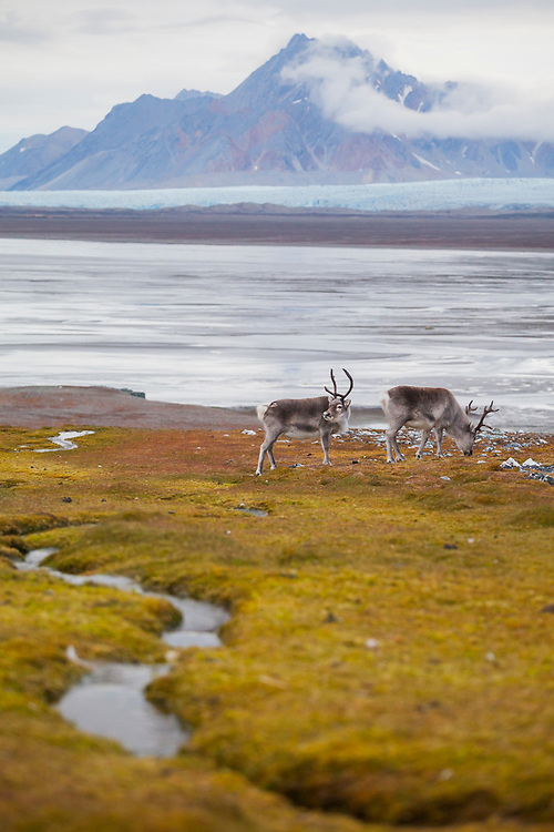 Reindeer (Rangifer tarandus) on the coast near Hyttevika, Svalbard. Torellbreen and Raudfjellet are visible across the fjord.