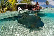 A Napolean Wrasse, Cheilinus undulatus, swims in the shallows of Tetamanu Pass, Fakarava Atoll, French Polynesia