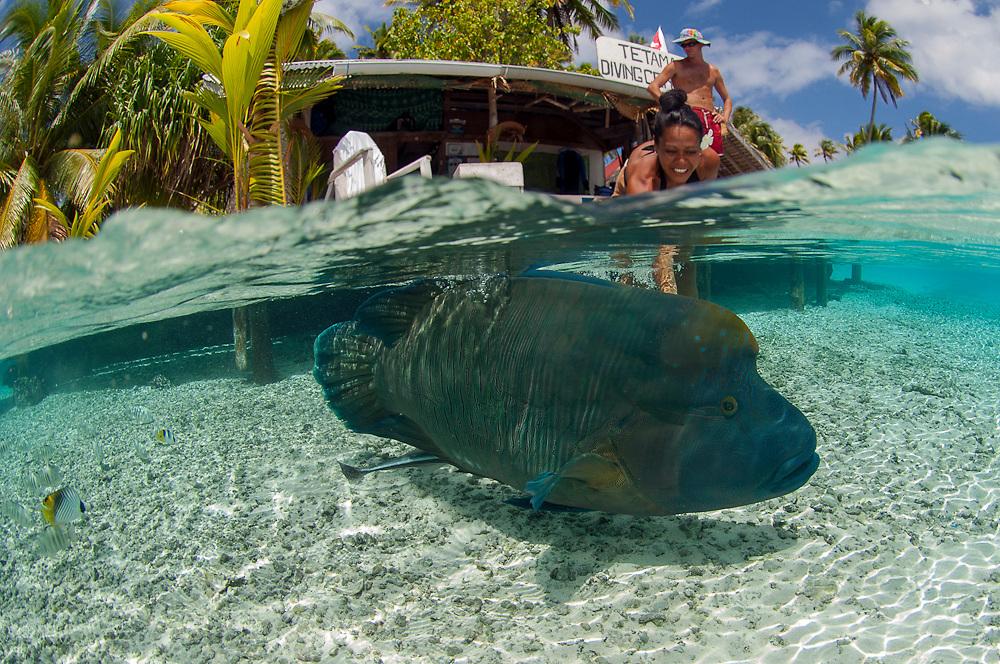 A Napolean Wrasse, Cheilinus undulatus, swims in the shallows of Tetamanu Pass, Fakarava Atoll, French Polynesia