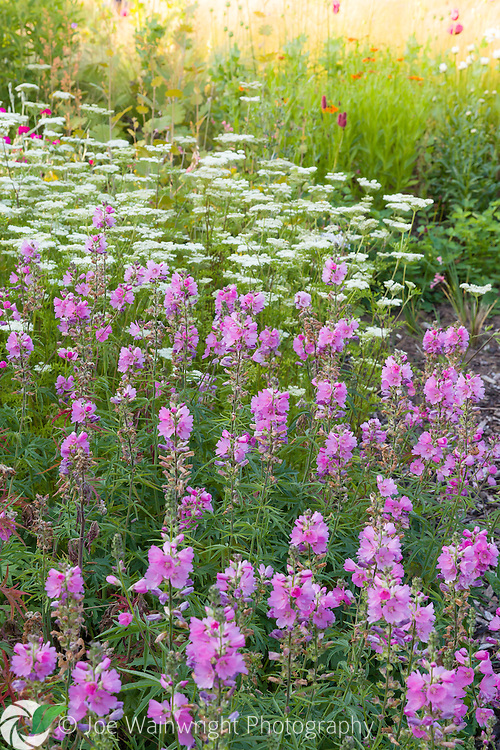 Cenolophium denudatum and Sidalcea combine in a herbaceous border at Bluebell Cottage Gardens, Cheshire