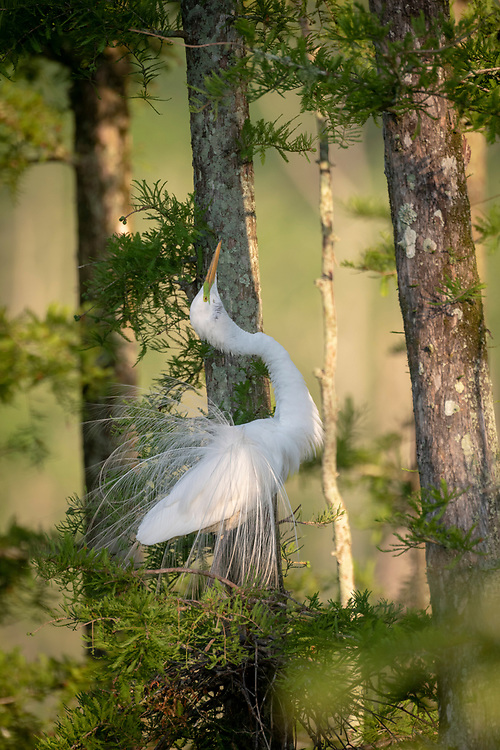 Great Egret Courtship Display