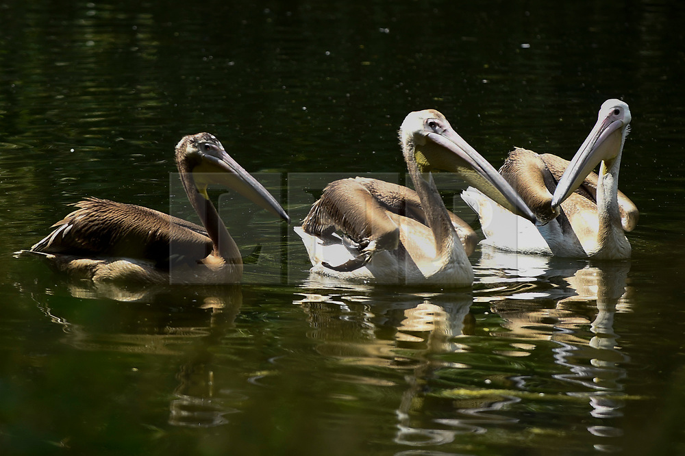 © Licensed to London News Pictures. 16/07/2019. LONDON, UK.  Three great white pelicans (Pelecanus onocrotalus) have been released in St James's Park.  A gift from Prague Zoo arriving at the end of May, the new pelicans have been kept hidden from public view while they settled in to their new surroundings.  The two males, Sun and Moon, and a female named Star (L), were hatched in February, and join a colony of three in the park.  Photo credit: Stephen Chung/LNP