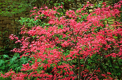 The new young foliage of Acer palmatum 'Deshojo' in spring