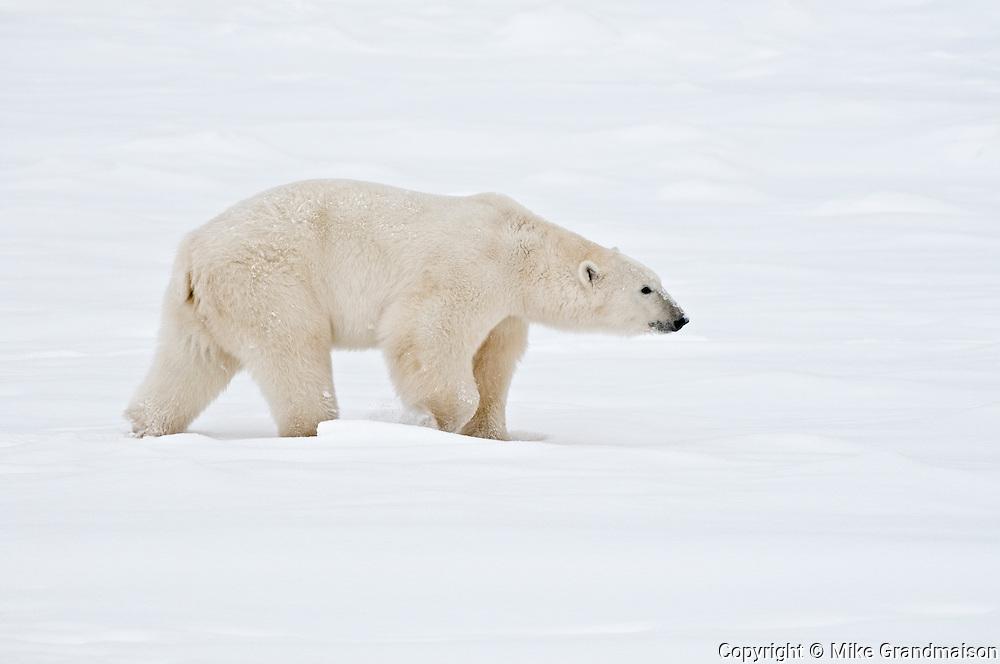 Polar bear Ursus maritimus on frozen tundra<br /> Churchill<br /> Manitoba<br /> Canada
