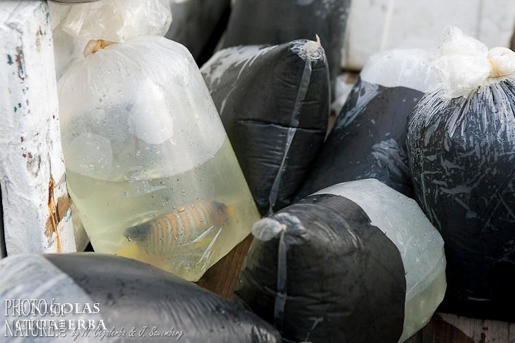 Emballage de poissons d'aquarium (Pygoplites diacanthus)<br /> <br /> Holacanthe duc, Poisson ange duc, Pygoplites diacanthus, Village de Bonebone dans les iles Banggais, Sulawesi, Indon&eacute;sie - Mission Banggai Cardinal Fish, Mai 2008, Act for Nature - Musee oceanographique de Monaco