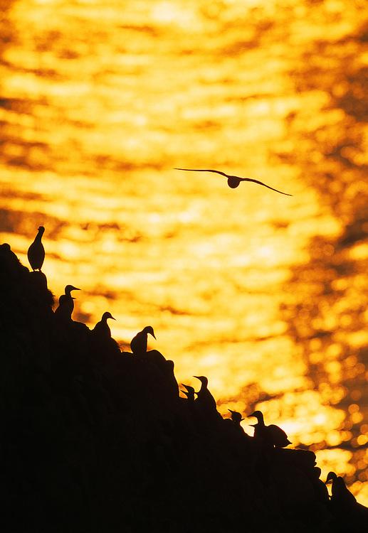 GUILLEMOTS ON CLIFF KITTIWAKE AT SUNRISE