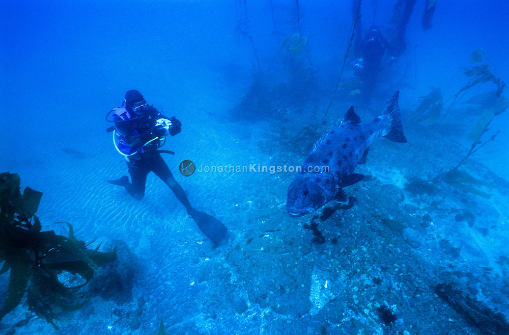 A SCUBA diver takes footage of the endangered giant sea bass, Stereolepis Gigas, in a kelp forest in the Channel Islands National Park, CA.