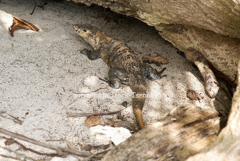 Basilisk or Jesus Christ Lizard, (Basiliscus basiliscus) Photographed at the Manuel Antonio National Park, (Parque Nacional Manuel Antonio), Costa Rica