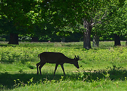 © Licensed to London News Pictures. 03/06/2013. Richmond, UK Deer shelter from the sunshine under the shade of a tree. Deer graze on grass in hot sunshine in London's Richmond Park today 3rd June 2013. Photo credit : Stephen Simpson/LNP