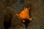 Painted Frogfish (Antennarius pictus) in Lembeh Strait, Indonesia