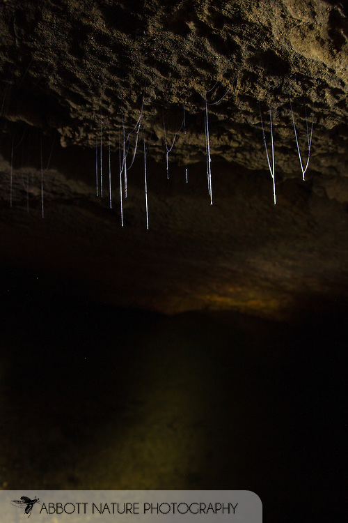 Predaceous Fungus Gnat (Keroplatidae; ?Macrocera sp.) larvae silk capture lines<br /> Belize: Cayo District<br /> Footprint Cave near Ian Anderson's Caves Branch Lodge near Armenia<br /> 27-Sept-2013<br /> J.C. Abbott