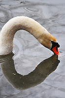 Switzerland. Springtime. Swan's head and reflection - would make a good Valentine's card.